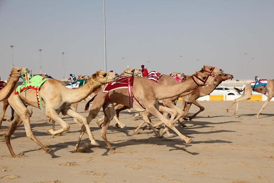 Верблюжьи бега, Абу-Даби, ОАЭ.