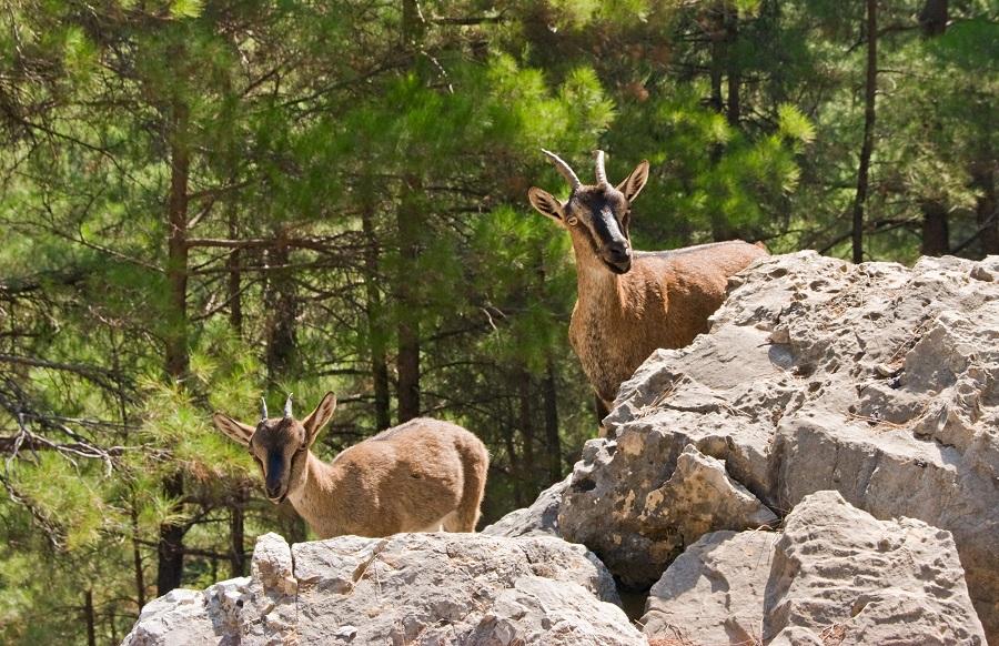 Козы кри-кри в Самарийском ущелье. Крит, Греция.